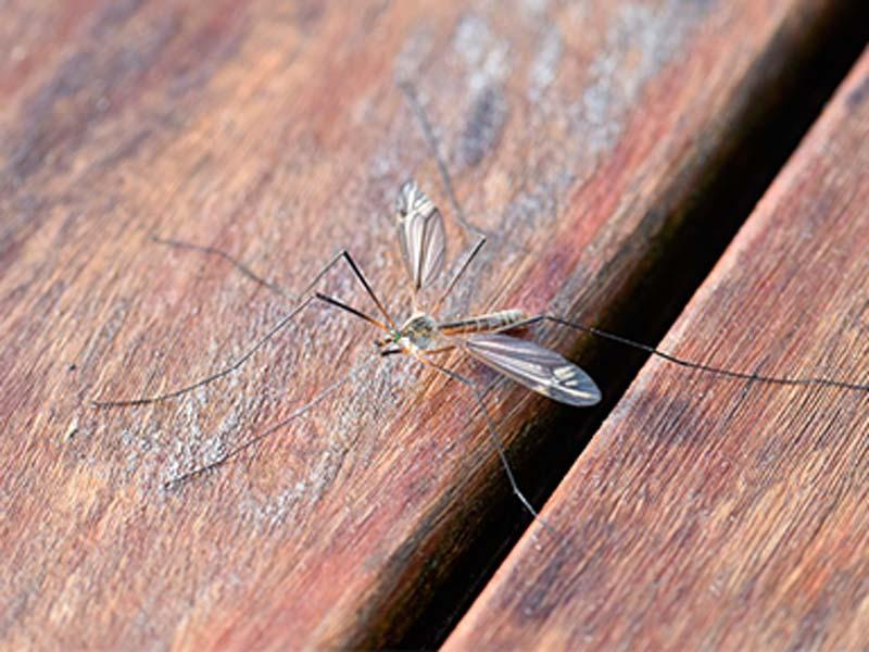 Harmonia - Como ahuyentar los mosquitos ...