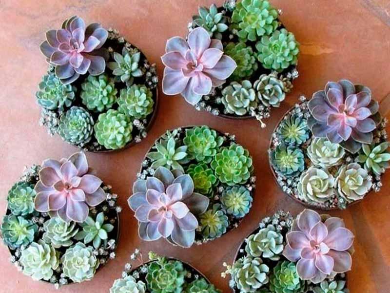 C mo sembrar y reproducir cactus y suculentas for Cactaceas y suculentas