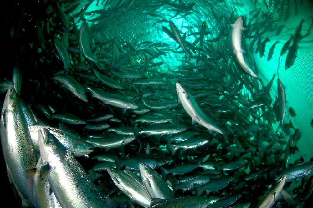 Acuaponia cultivo de peces para una agricultura sustentable for Cuidado de peces